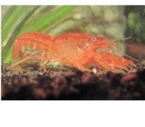 Photos Vivastreet crevettes RED CHERRY d'écrevisse CPO BLUE MINI