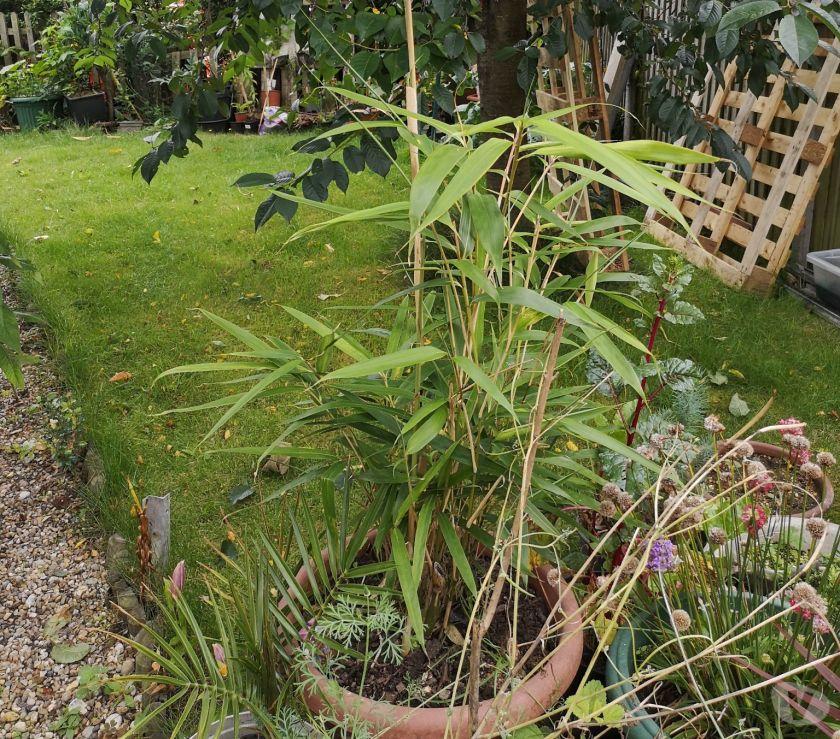 Garden, Outdoor & DIY Norfolk Norwich - Photos for Large pot of bamboo