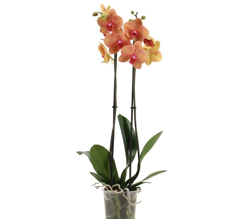 Garden, Outdoor & DIY Berkshire Staines - Photos for Ethically UK-Sourced Orchids for Delivery - Novablooms