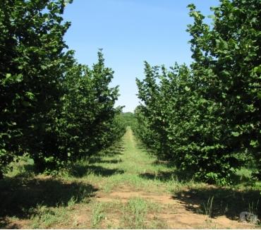 Foto di Vivastreet.it Terreno Agricolo Noccioleto Pianeggiante Ha 2