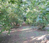 Foto di Vivastreet.it Terreno Agricolo Noccioleto Ha 2