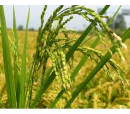 Foto di Vivastreet.it 1-2-300 ettari a Riso - Az. Agricole provincia di NO - VC