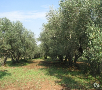 Foto di Vivastreet.it Oliveto Pianeggiante da Olio Canino