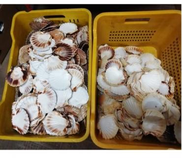 Foto di Vivastreet.it Gusci capesante per guarnizioni piatti pesce e hobby