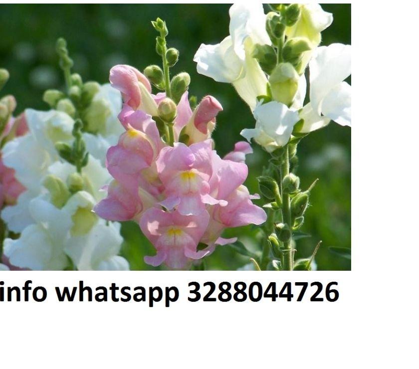Foto di Vivastreet.it 200 semi di fiore bocca di leone vari colori mix